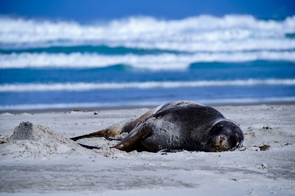 Robbe auf der Otago Peninsula