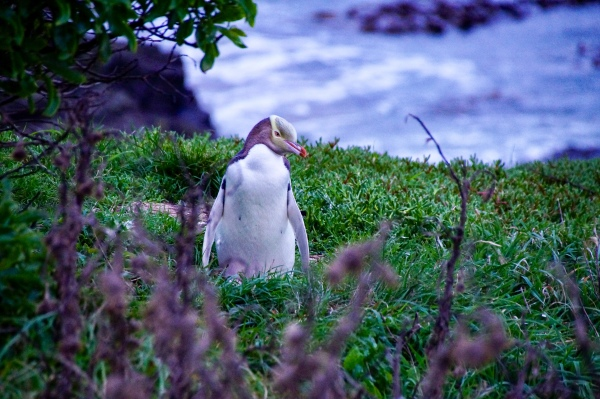 Yellow-Eyed Penguin am Katiki Point