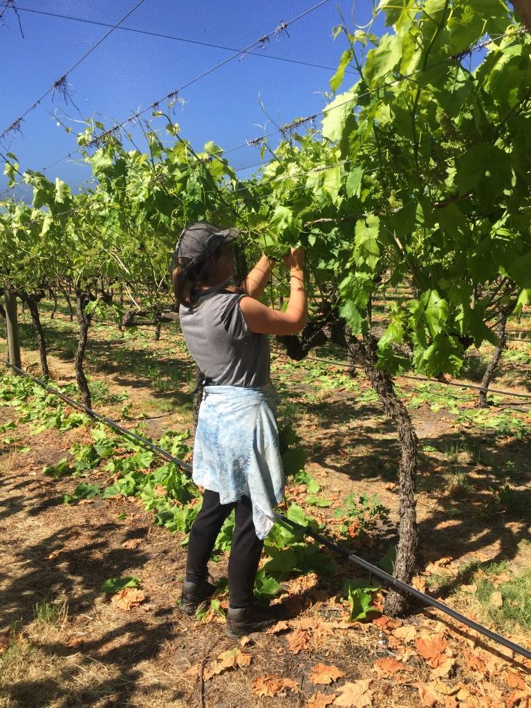 Conny beim Entblättern der Weintraubenbäume
