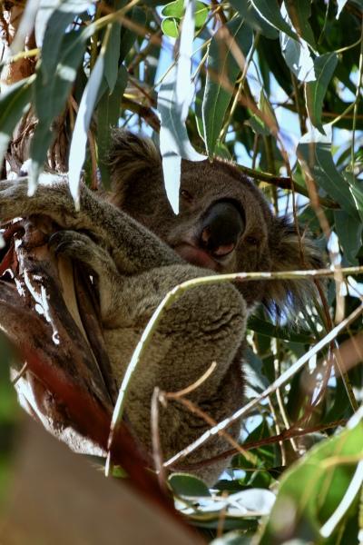 Koala-an-der-Great-Ocean-Road